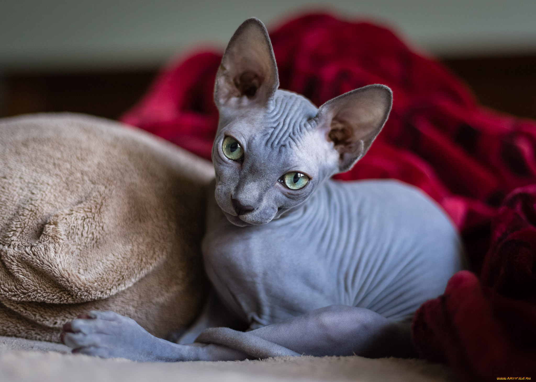 рисунок картинки домашней кошки сфинкс популярных
